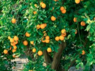 tangerine seedlings