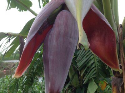 Banana flower £ 2.5