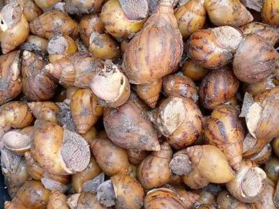 Snails for sale at affordable price